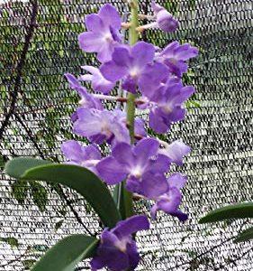 Orchid Vanda Rhynchostylis gigantea Spots Fragrant Exotic Tropical Plant