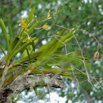 ansellia africana orchid species plant