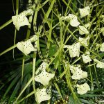 brassia verrucosa orchid species flowers