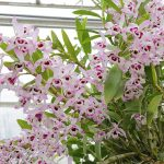 dendrobium nobile orchid species plant