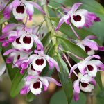 dendrobium nobile orchid species flowers