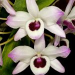 dendrobium nobile orchid species flower