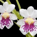 miltoniopsis phalaenopsis orchid species flower