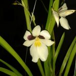 miltoniopsis roezlii orchid species flower