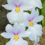 miltoniopsis vexillaria orchid species flower