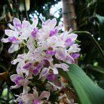 Rhynchostylis gigantea orchid species flowers