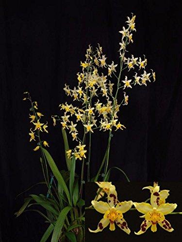 Oncidium Serendipity Yellow Mellow Am Aos Orchid Plant