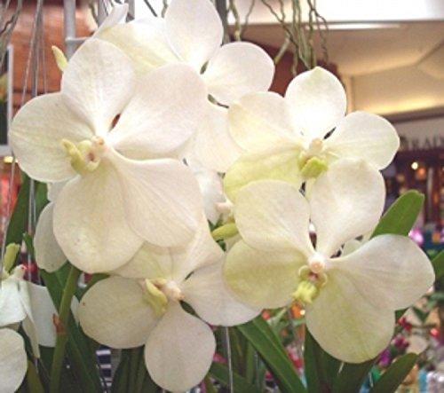 Vanda Ascocenda Princess Mikasa White Angel Orchid