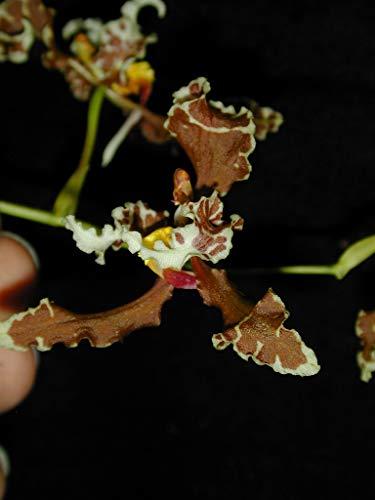 Cyrtochilum Oncidium Engelii Zebrinum Orchid Plant