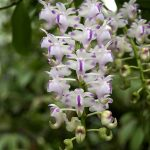 aerides odorate orchids species flowers