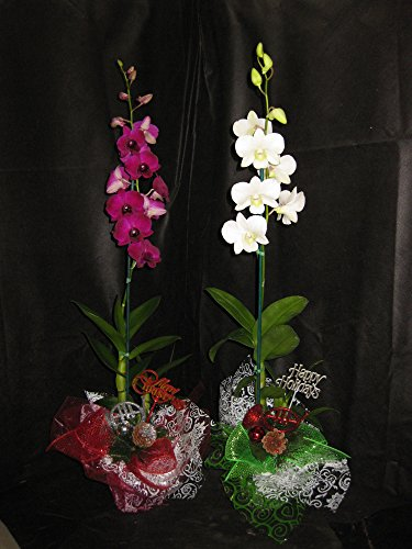2 Budded Blooming Dendrobium Orchid Plants With Christmas