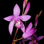 bletilla striata orchid species flower