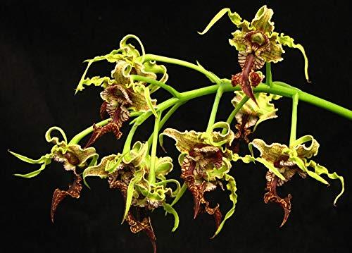 Dendrobium Spectabile Species Orchid Plant. Rare offering! Unique Flowers!