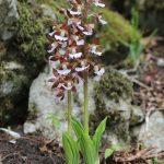 calanthe discolor orchid species plant