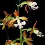 calanthe discolor orchid species flowers