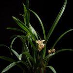 cymbidium ensifolium orchid species plant