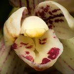 cymbidium ensifolium orchid species flower