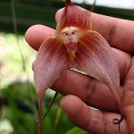 dracula simia orchid species flower