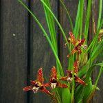 maxillaria tenuifolia orchid species plant