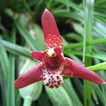 maxillaria tenuifolia orchid species flower