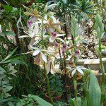 phaius tankervilleae orchid species plant