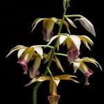 phaius tankervilleae orchid species flowers