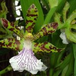 zygopetalum crinitum orchid species flower