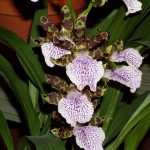 zygopetalum maculatum orchids species flowers